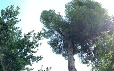La lucha de las mariquitas para salvar a los icónicos pinos de Roma